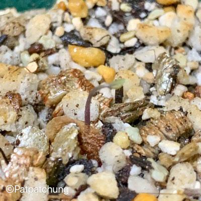 アフリカ亀甲竜の発芽