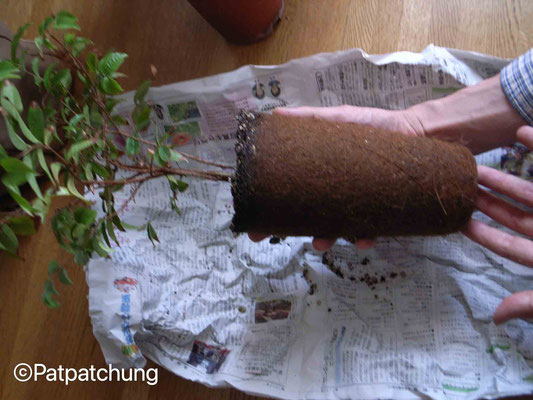 大葉系ジャボチカバの根鉢