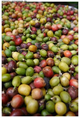 Kaffee gedeiht auf Kuba.