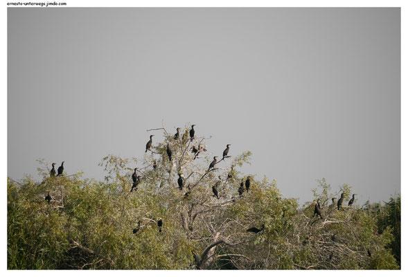 Ein Baum voller Kormorane