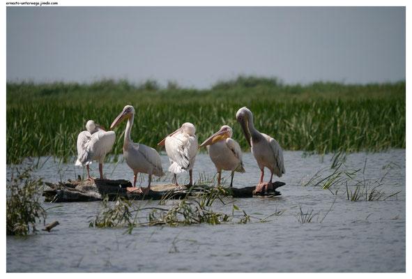 Pelikane zu Land...
