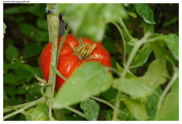 bauen ihr eigenes Gemüse an