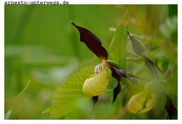 Eine Orchideenart...