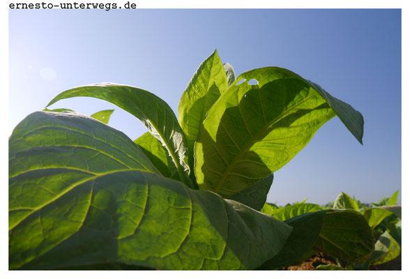 Etwa im März sind die Tabakpflanzen mannshoch. Dann beginnt die Ernte. Alle drei bis vier Tage werden die untersten drei Blätter abgepflückt. Die frisch geernteten Blätter werden ins Tabakhaus zum Trocknen gebracht.