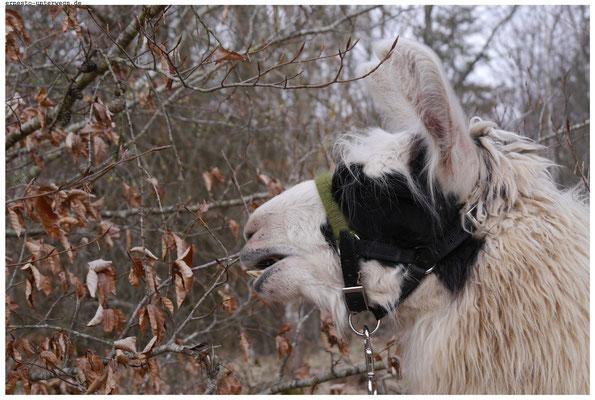 Luiz hat Hunger. Ich glaube, das haben Lamas immer.