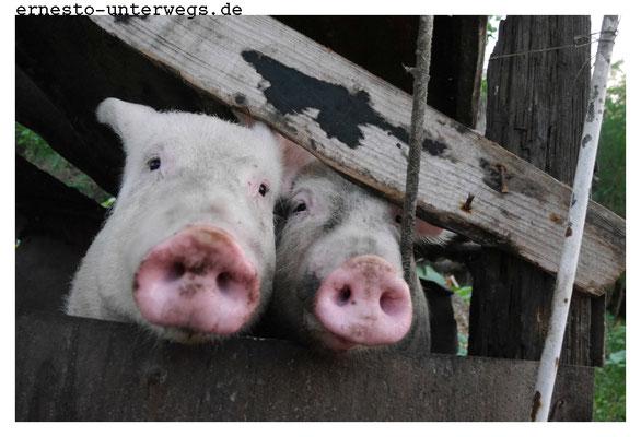 Viele Kubaner auf dem Land halten sich ein paar Schweine zur Selbstversorgung.