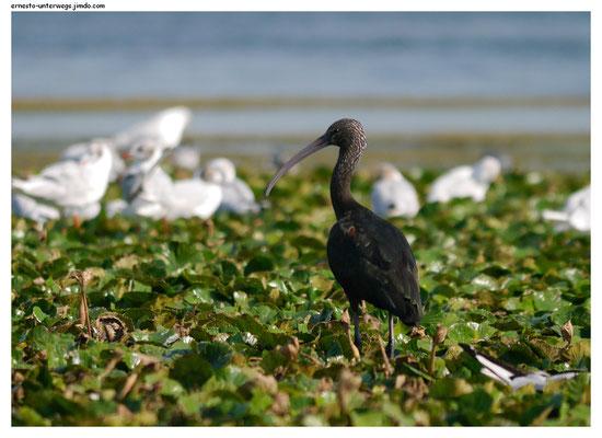 Schwarze Ibisse (Sichler) gibt es im Delta häufig. Manche schillern auch noch sehr dunkelbunt.