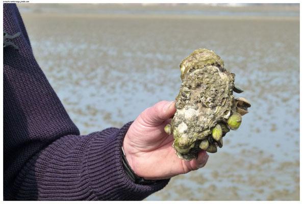 Eine pazifische Auster