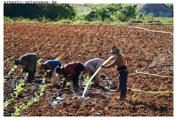 Im Dezember ist es soweit: Die Setzlinge werden auf die Felder verpflanzt.