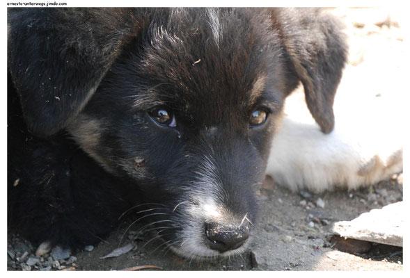 Hunde sind auf dem rumänischen Land fast nie Haustiere. Manche leben auf der Straße und sind äußerst selten so schüchtern wie dieser hier. Meistens arbeiten sie als Hüte- oder Wachhunde.
