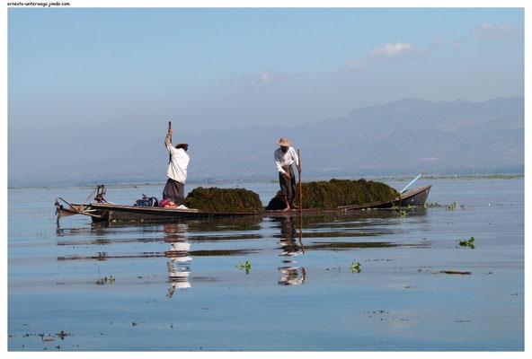 ...werden mit den Pflanzen vermischt, die die beiden Fischer hier vom Seegrund aufsammeln...