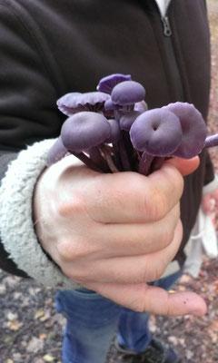 Ein Strauß Pilze (Violette Lacktrichterlinge)