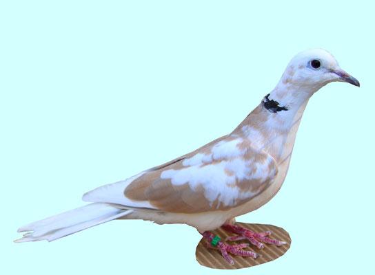 Panachée bicolore blancfauve
