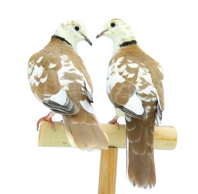 Couple de panachées sauvage complémentaire pour le travail de l'expression du gène Pi