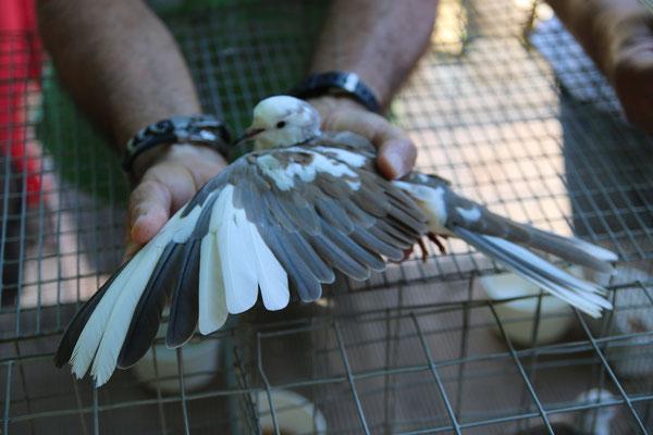 Vol d'une panaché bicolore blanc sauvage
