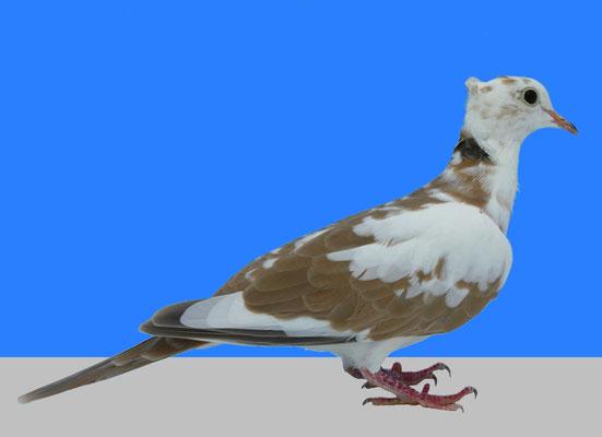 Huppée panachée bicolore blanc sauvage