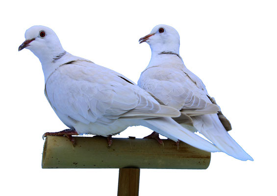 Couple d'argentés givrés