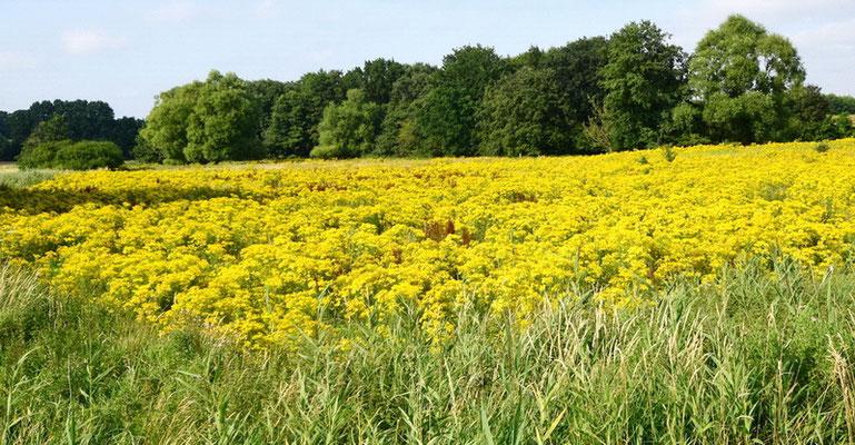 Naturschutzfläche mit Jakobskreuzkraut. Es reguliert sich nicht von alleine! Foto: D. Stöckl