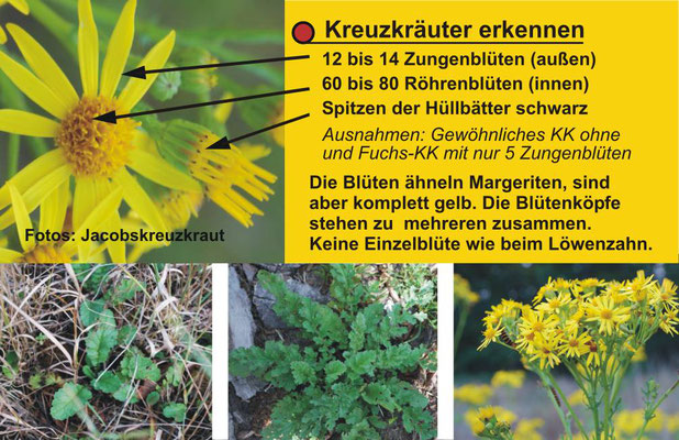 Kreuzkraut-Info-Visitenkarte