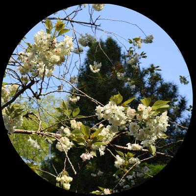 御衣黄桜は花が黄緑色をした大変珍しい桜です。ソメイヨシノなどが咲き終わる4月下旬頃から5月にかけて開花する遅咲きの桜です。
