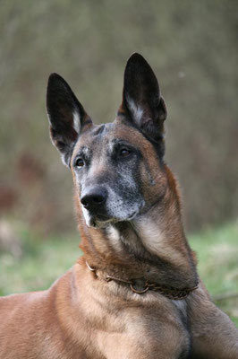 Walker Malinois, Polizeihund