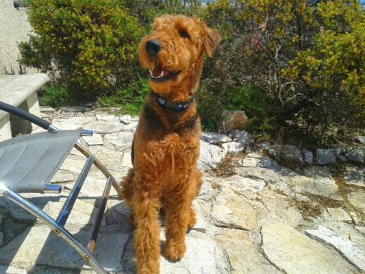Benny von der schwarzen Kuhle, Airedale Terrier, BH/VT, MT 1, RH-FL V