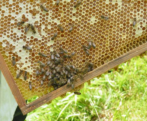 Honig von den eigenen Bienen