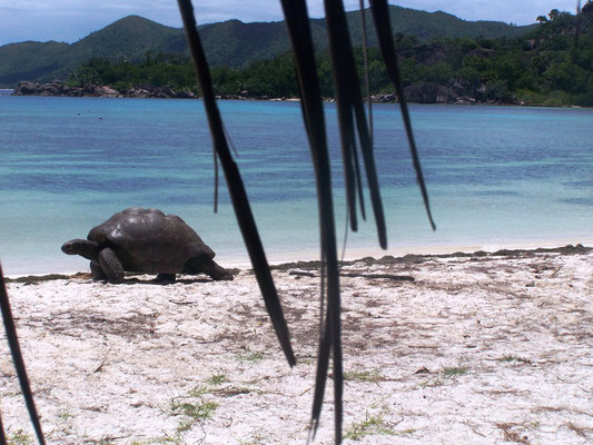 Tartarughe giganti all'isola di Curiouse, Seychelles