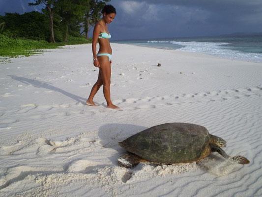 Deposizione tartaruga embricata all'isola Cousin, Seychelles