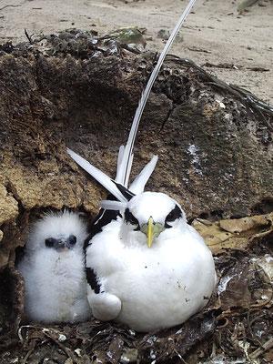 Fetonte codabianca con pullo, Seychelles