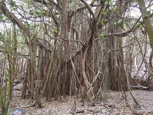Il grande Baniano sull'isola di Aride