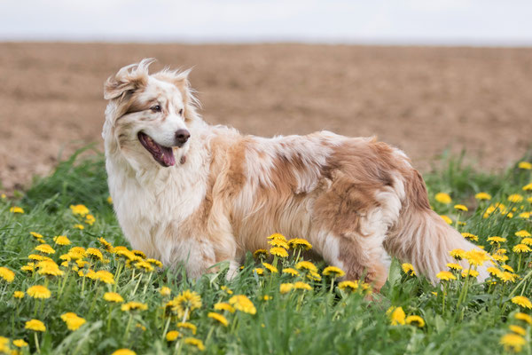 Red merle w/c