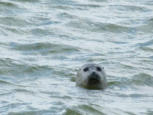 Observation d'un phoques veau marin en Baie de somme