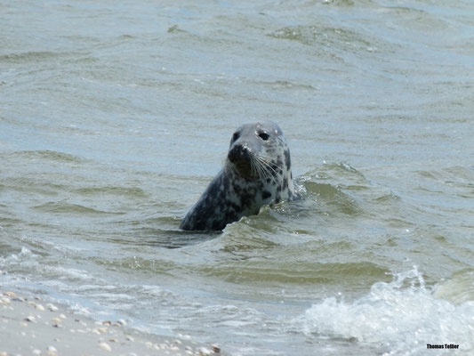 Observation d'un phoques gris en Baie de Somme