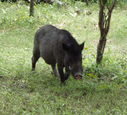 Wild Boar on Komodo