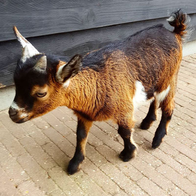Love baby goats, just the cutest thing :)