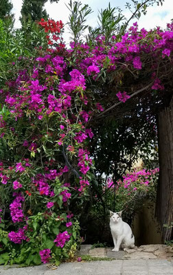 Athens' Bouganvillea in full bloom