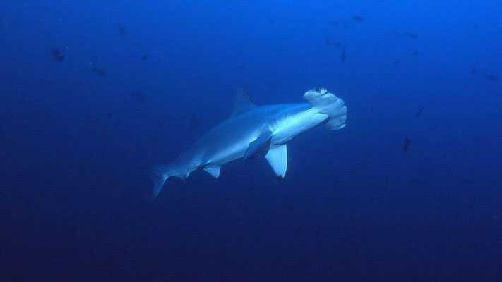 Hammerhead at Pinnacles, Ponta Do Ouro, Mozambique. Dante Harker