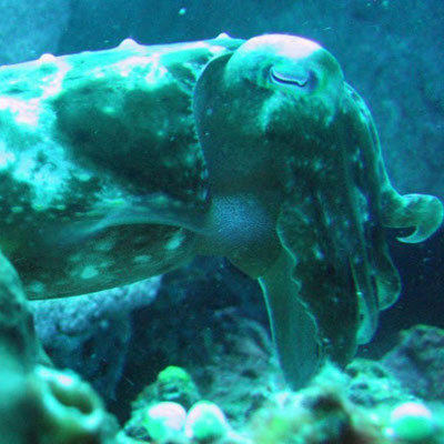 My favourite thing to see under the water - cuttlefish