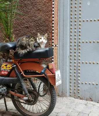 Photo opportunities with stray cats abound in Marrakech