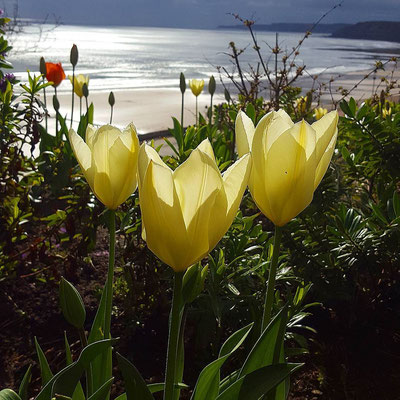 Tulips over looking the sea