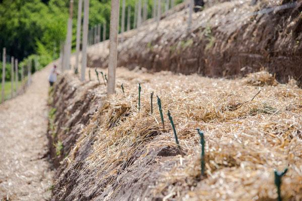 Die Pfropfreben werden Stück für Stück von Hand eingepflanzt.