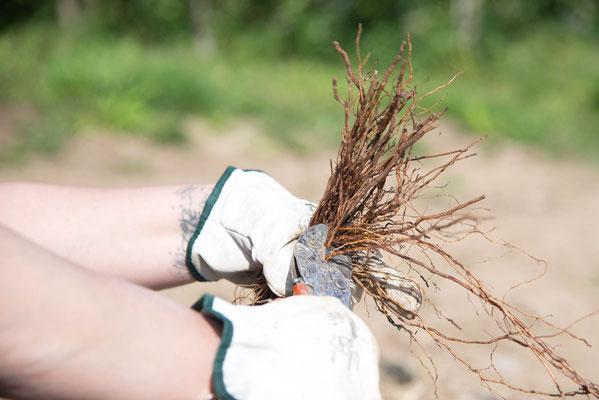 Vor dem Pflanzen wird die Wurzelpracht der Pfropfreben erheblich eingekürzt.
