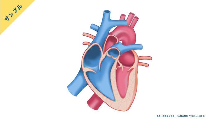 【解剖生理】心臓のイラスト