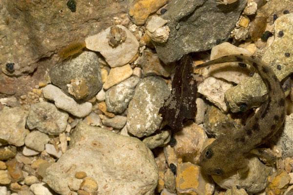 Larve de Salamandre tacheté - Mélodie Lettmann - 2014