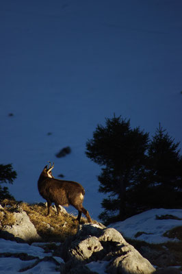 Chamois - A.Thiney