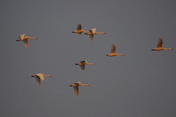 Vol de Cygne de Bewick - 2014 - E.Colliat