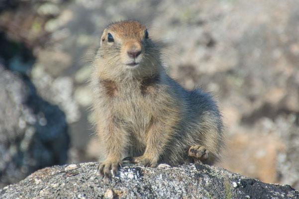Wer stört hier? Arctic Groundsquirrel