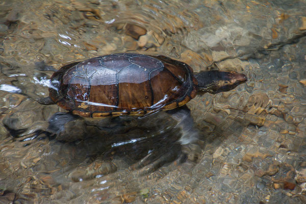 Überraschung, eine Wasserschildkröte