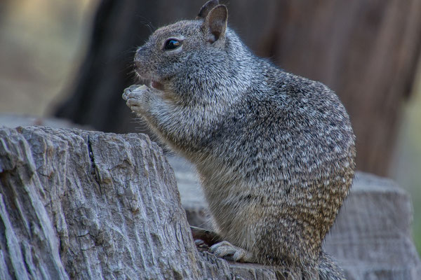 California Spotted Groundsquirrel
